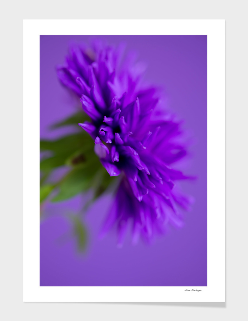 Close-up image of the flower Aster on purple background