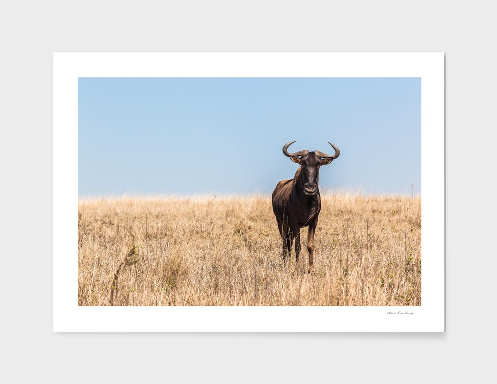 Wildlife Bull Wildbeest Animal Plateau