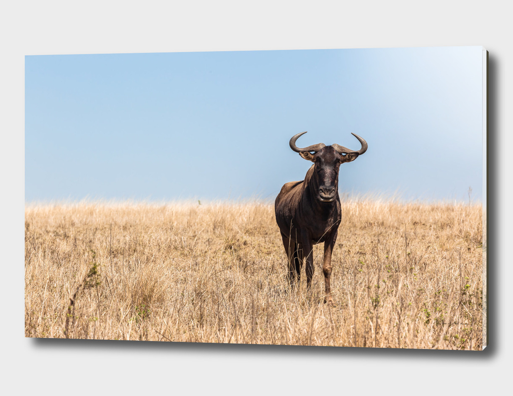 Wildlife Bull Wildbeest Animal Plateau
