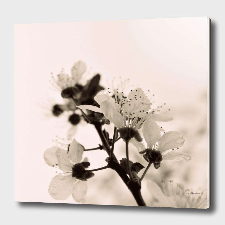 Tree Blossoms