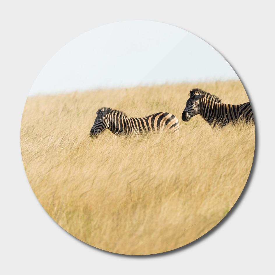 Zebras Wilderness