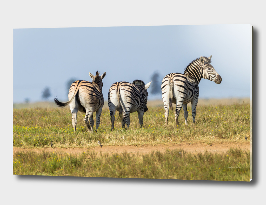 Zebras Three