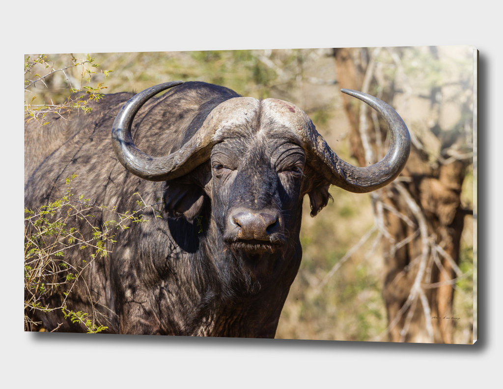 Buffalo Wildlife Animal