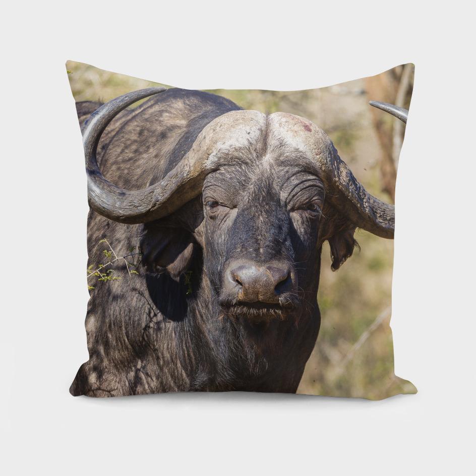 Buffalo Wildlife Animal