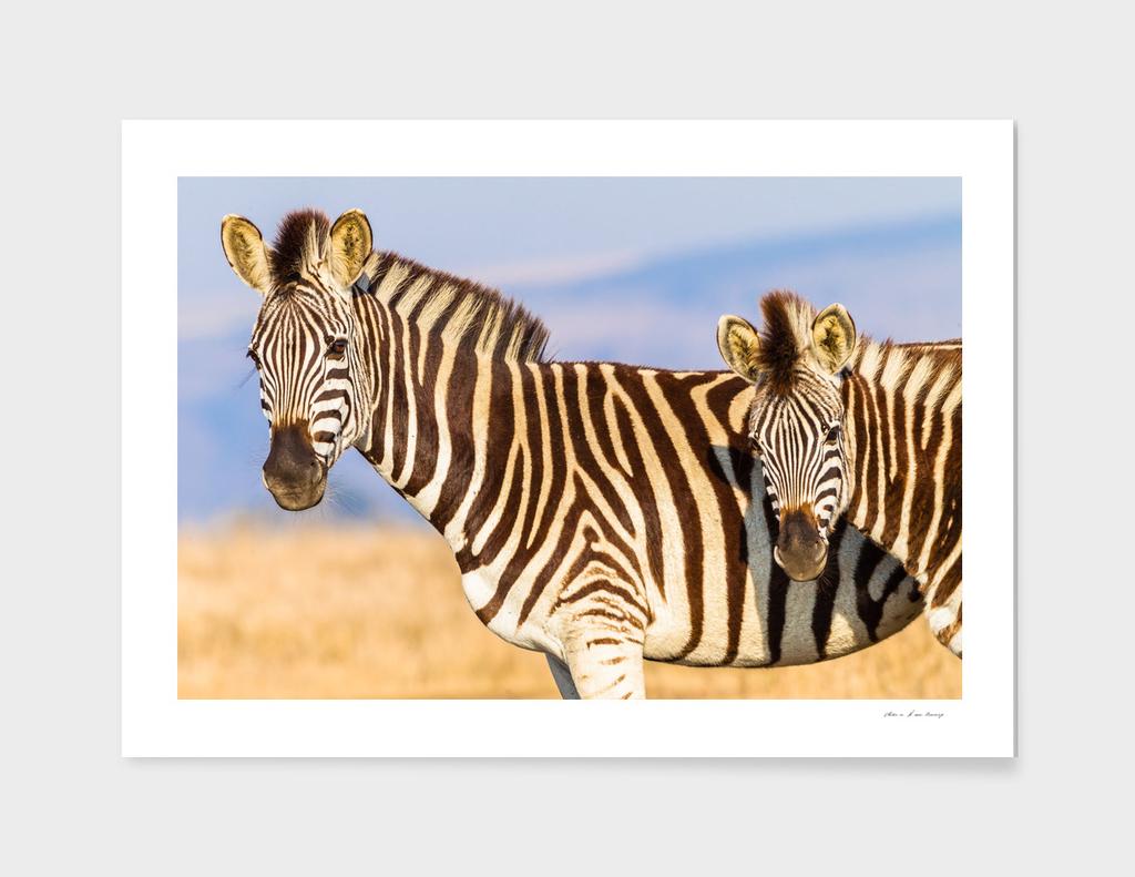 Zebra Calf Closeup Wildlife