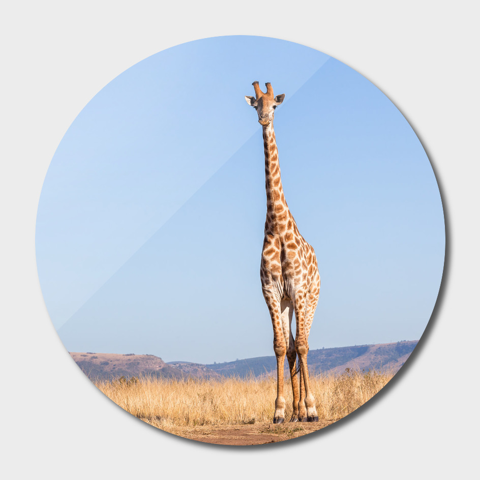 Giraffe Wildlife Blue