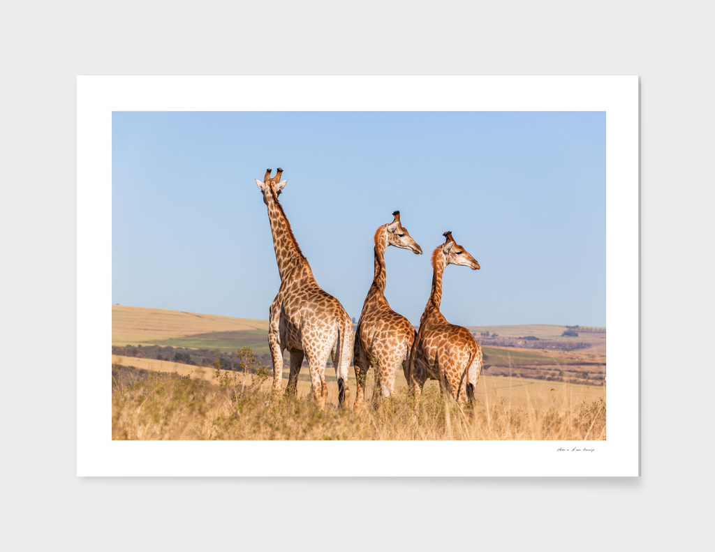 Giraffes Three Wilderness