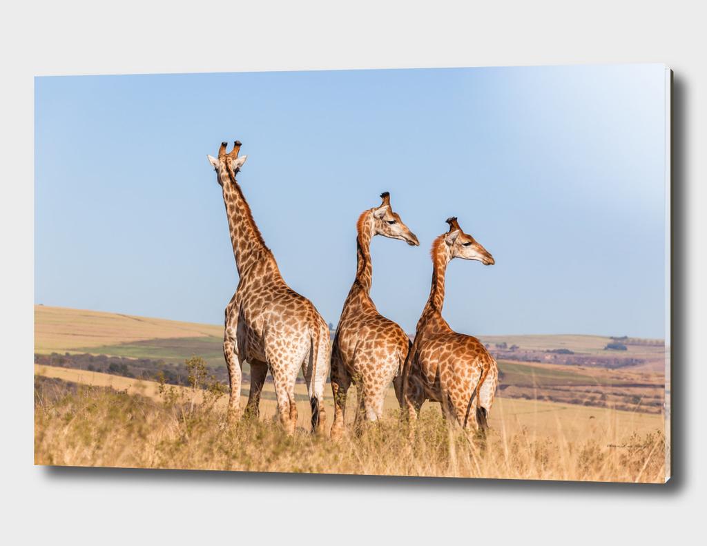 Giraffes Three Wilderness