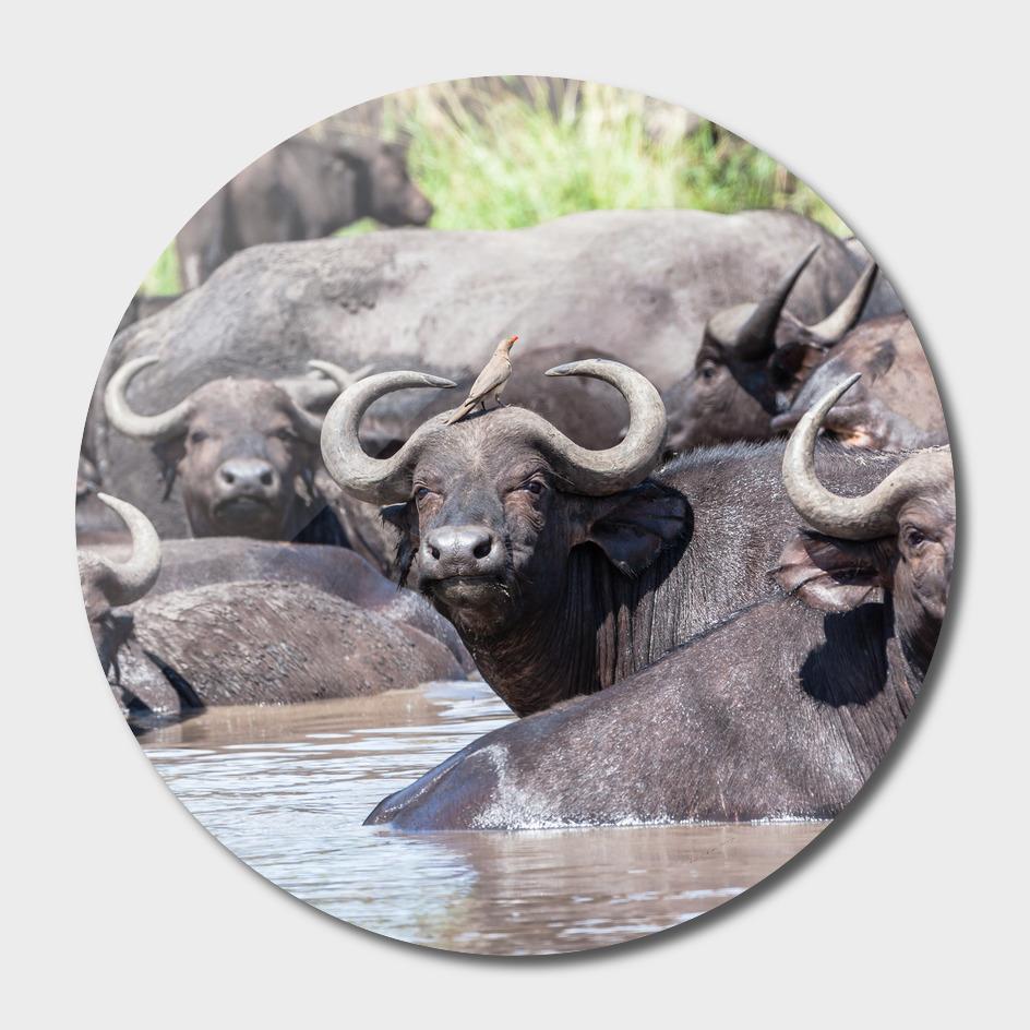 Buffalo Waterhole