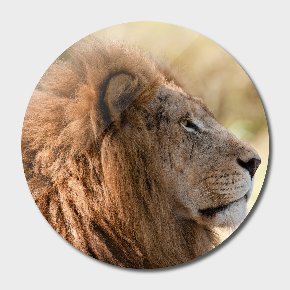 Lion Closeup Head Portrait
