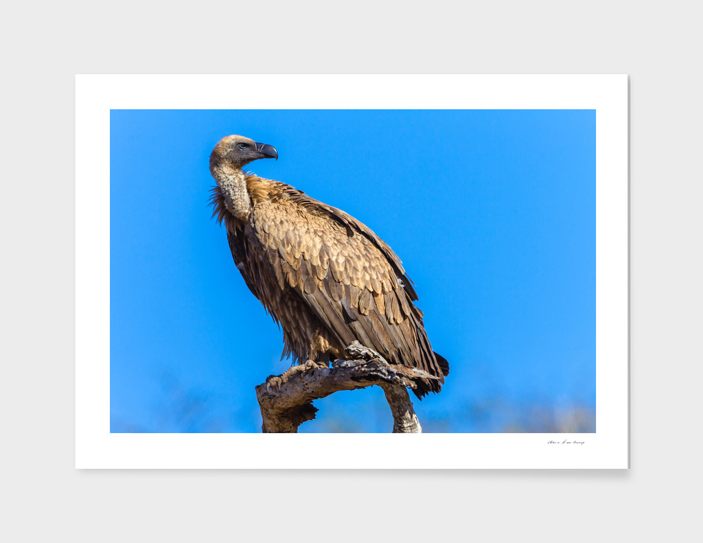 Vulture Bird Wildlife