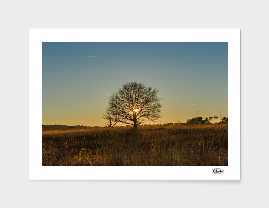 Single tree sunset