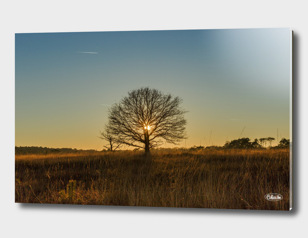 Single tree sunset