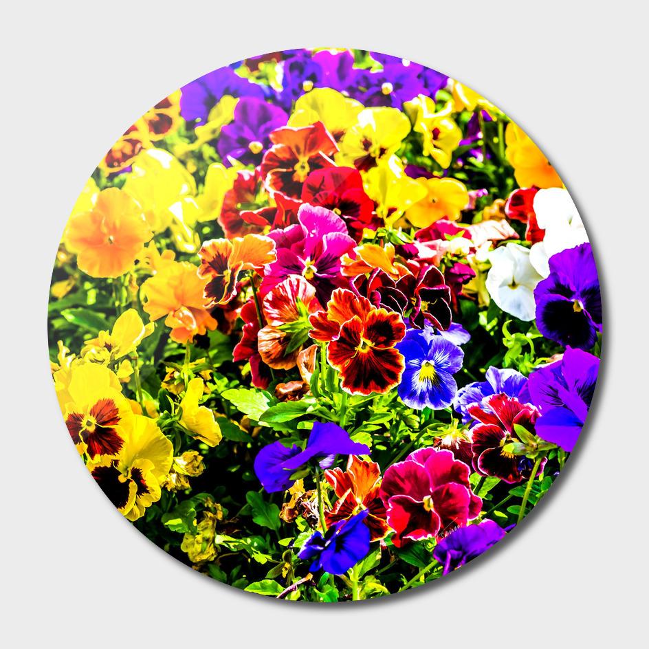 Viola Tricolor Pansy Flowers
