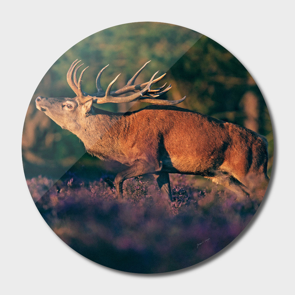 Red deer stag in rutting season